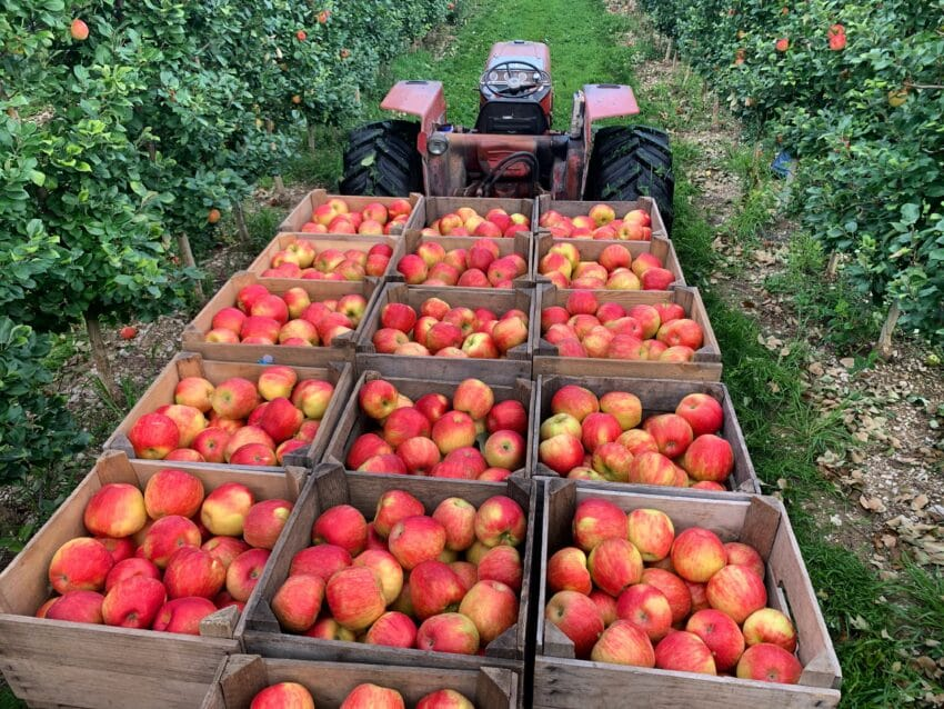 Boxes of red apples at an orchard